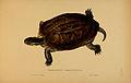 N116 Sowerby & Lear 1872 (cuora amboinensis).jpg