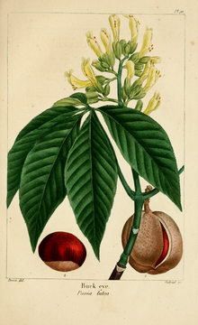 NAS-091 Aesculus flava.png