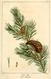 NAS-136 Pinus banksiana.png