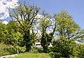 ND 101 22 Zwei Robinien alte Höttinger Kirche-Ibk 20140508 GOG 9160.jpg