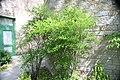 Nandina domestica var. leucocarpa 2zz.jpg