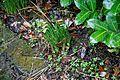 Narcissus 'Tête á Tête' in flower bed at Nuthurst, West Sussex, England.jpg