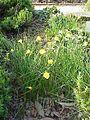 Narcissus bulbocodium bulbocodium2.jpg