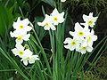 Narcissus medioluteus3.jpg