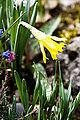 Narcissus minor Blüte 01.jpg