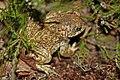 Natterjack Toad (Epidalea calamita) (7557521594).jpg