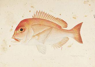 Dentex - Image: Naturalis Biodiversity Center RMNH.ART.419 Dentex tumifrons (Temminck and Schlegel) Kawahara Keiga 1823 1829 Siebold Collection pencil drawing water colour