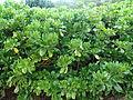 Naupaka Kahakai - scaevola sericea (3596766860).jpg