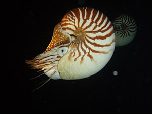 Nautilus macromphalus - Image: Nautilus macromphalus couple