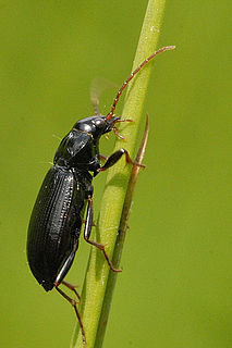 <i>Nebria</i> genus of insects