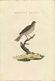 Nederlandsche vogelen (KB) - Emberiza calandra (436b).jpg
