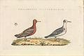 Nederlandsche vogelen (KB) - Phalaropus fulicarius (486b).jpg