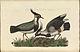 Nederlandsche vogelen (KB) - Vanellus vanellus (064d).jpg