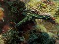 Nembrotha kubaryana (Nudibranchia) - Dumaguete, Philippines - (1).jpg