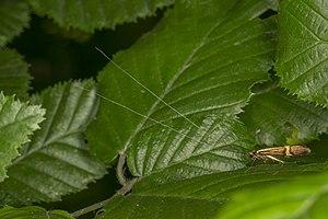 Nemophora degeerella, Lodz(Poland)06(js).jpg