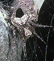 Neoscona.subpullata.female.2.-.tanikawa.jpg