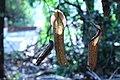 Nepenthes 'Miranda' (5).jpg