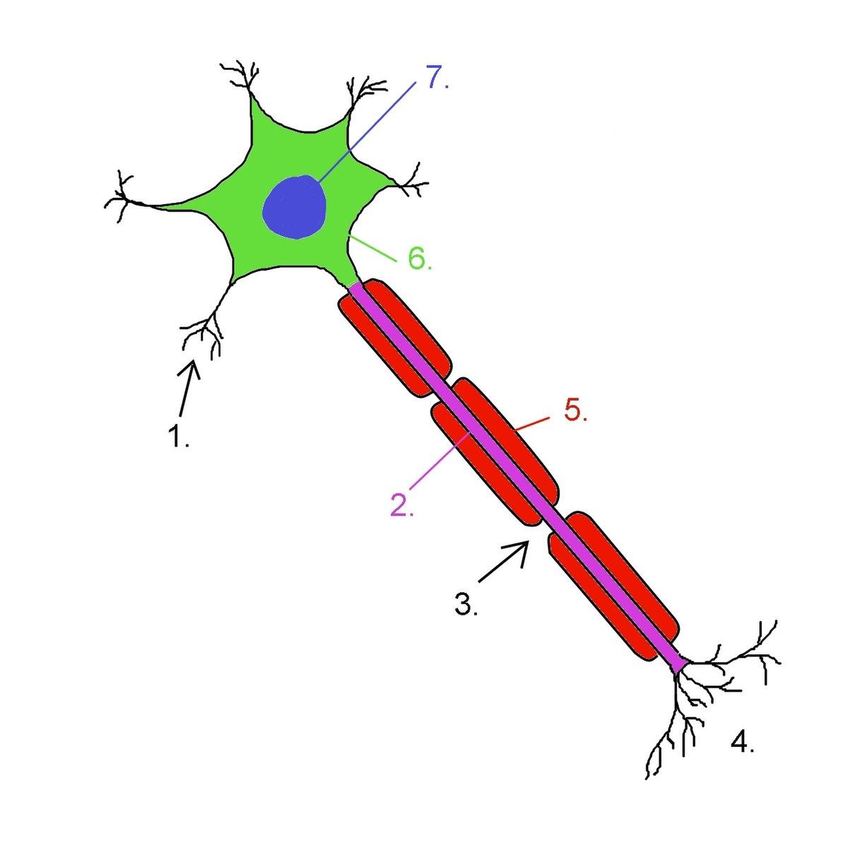 Neurono branduolio funkcija