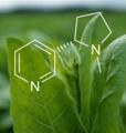 Nicotine tabaksplant.png