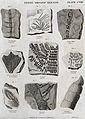 Nine fossilised organic remains. Etching by W. H. Lizars. Wellcome V0023171ER.jpg