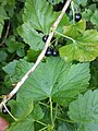 Noordwijk - Coepelduyn - Zwarte bes (Ribes nigrum).jpg