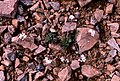 Northern Rock-cress (Cardaminopsis petraea) - geograph.org.uk - 723142.jpg
