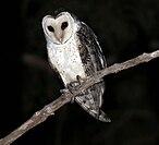 Northern masked owl