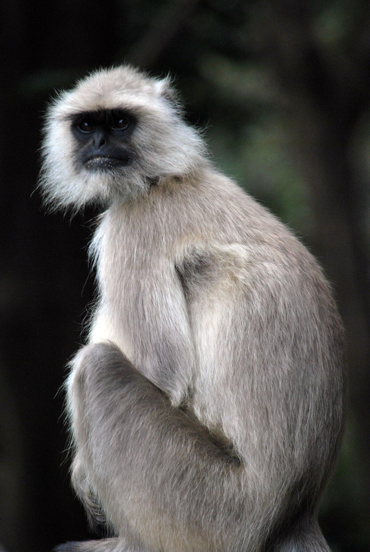 Indischer Affe