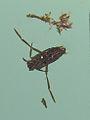 Notonectidae-Galiza.jpg