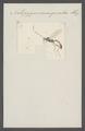 Notopygus - Print - Iconographia Zoologica - Special Collections University of Amsterdam - UBAINV0274 046 06 0154.tif