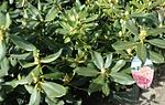 Nova Zembla Rhododendron plants growing in NJ in April.jpg