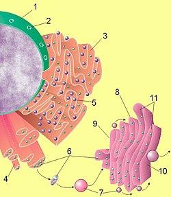 Imagen de un núcleo, el retículo endoplasmático y el aparato de Golgi. (1) Núcleo (2) Poro nuclear (3) Retículo endoplasmático rugoso (RER) (4) Retículo endoplasmático liso (REL) (5) Ribosoma en el RER (6) Proteínas siendo transportadas (7) Vesícula (transporte) (8) Aparato de Golgi (9) Lado cis del aparato de Golgi (10) Lado trans del aparato de Golgi (11) Cisternas del aparato de Golgi