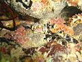 Nudibranch at Devils Peak dsc03799.jpg