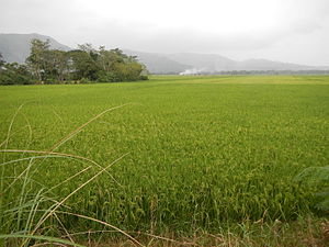 Cagayan Valley - Rice fields in Nueva Vizcaya