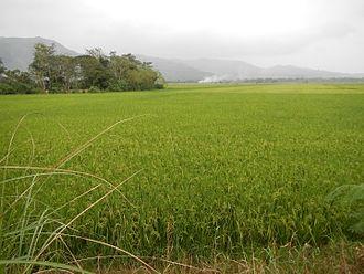 Cagayan Valley - Rice fields in Nueva Vizcaya