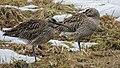 Numenius phaeopus, Norrbottens Län, Sweden.jpg