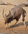 Nyala (Tragelaphus angasii) male digging up the sand ... (32039968711).jpg