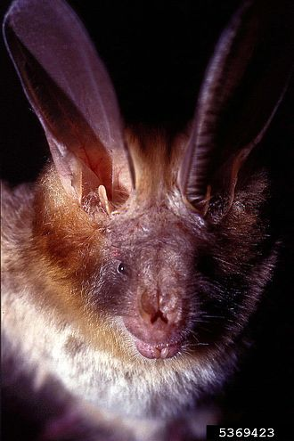 Egyptian slit-faced bat - Image: Nycteris thebaica