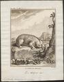 Nycticebus tardigradus - 1773-1807 - Print - Iconographia Zoologica - Special Collections University of Amsterdam - UBA01 IZ19700114.tif