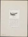 Nyctiornis forsteni - 1872 - Print - Iconographia Zoologica - Special Collections University of Amsterdam - UBA01 IZ16800297.tif