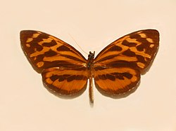 Tithorea harmonia