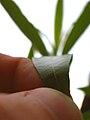 Oberflächenstruktur Fingerkuppe versus Pflanze, Makroaufnahme.jpg