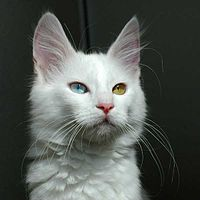 923111f89b A white Turkish Angora cat with odd eyes (heterochromia)