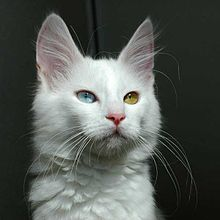 Odd-eyed Turkish Angora cat - 20080830.jpg