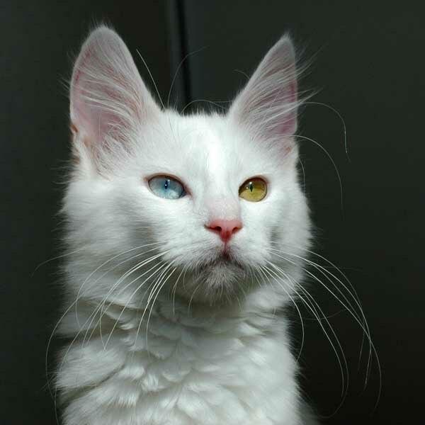 Odd-eyed Turkish Angora cat - 20080830