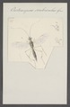 Oedemopsis - Print - Iconographia Zoologica - Special Collections University of Amsterdam - UBAINV0274 046 06 0161.tif