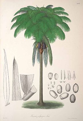 Description de l'image Oenocarpus bataua.jpg.