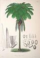 Oenocarpus bataua.jpg