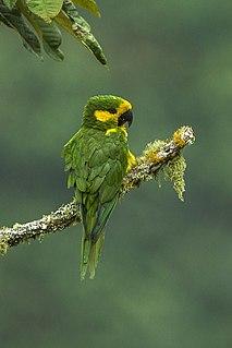 Yellow-eared parrot species of bird
