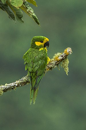 Yellow-eared parrot - In Colombia